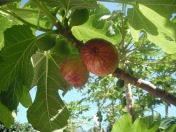5 figs